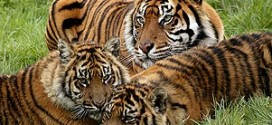 Tigres au Parc des Félins